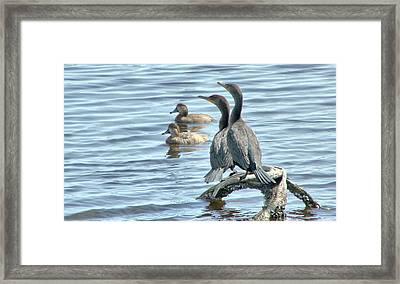 Cormorant Pair And Friends Framed Print by Rosanne Jordan