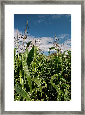Framed Print featuring the photograph Corn 2287 by Guy Whiteley