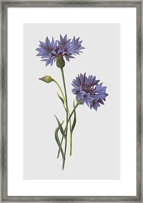Corn Blue Bottle Framed Print by Frederick Edward Hulme