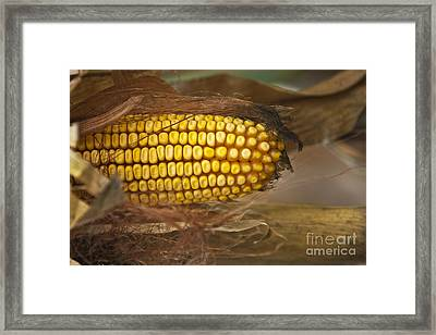 Corn Framed Print by Dan Radi