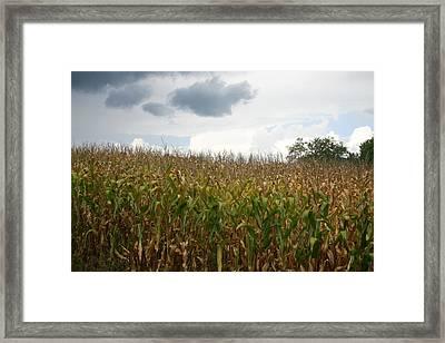 Corn Framed Print by Dennis Curry