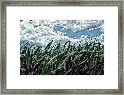 Corn Field 1 Framed Print