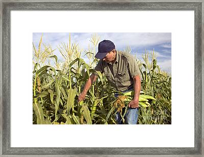 Corn Field And Farmer Framed Print