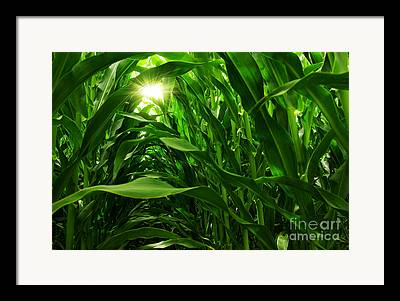 Corn Field Framed Prints