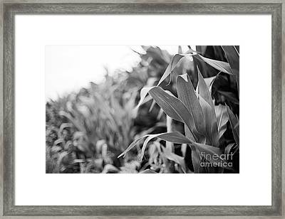 Framed Print featuring the photograph Corn In Black And White by Sandy Adams