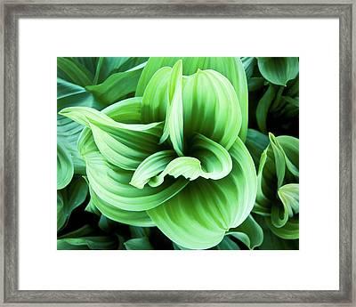 Corn Lily Framed Print by Joe  Palermo