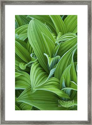 Corn Lily Leaves Framed Print by Greg Vaughn - Printscapes