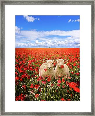 Corn Poppies And Twin Lambs Framed Print by Meirion Matthias