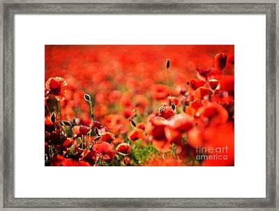 Corn Poppies Framed Print by Meirion Matthias