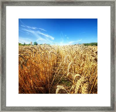 Corn Rield Framed Print by Haaghun