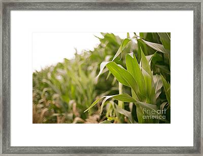 Framed Print featuring the photograph Corn by Sandy Adams