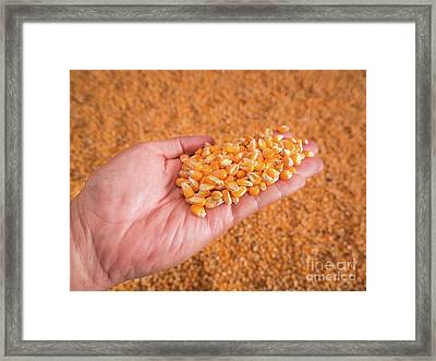 Corn Seeds In Hand With Pile Of Ripe Corn Seeds In Background. Framed Print by Tosporn Preede