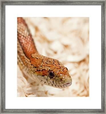 Corn Snake Framed Print