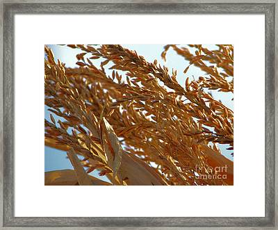 Corn Stalk In Sun Framed Print by Roxy Riou