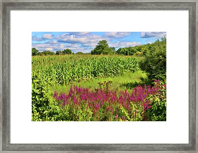 Cornfield And Purple Salvia Framed Print by Allen Beatty