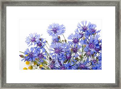 Cornflower And Chamomile Many Flowers  Framed Print by Arletta Cwalina