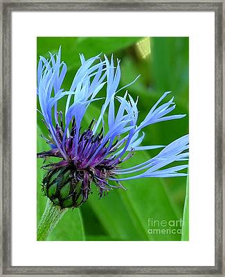 Cornflower Centaurea Montana Framed Print by Diane Greco-Lesser