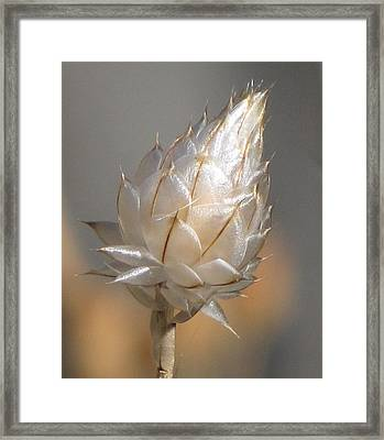 Cornflower Seed Pod Framed Print by Michele Penner