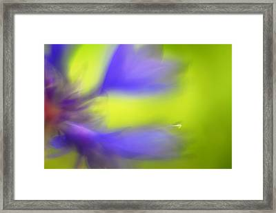 Cornflower Framed Print by Silke Magino