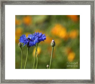 Cornflowers -2- Framed Print