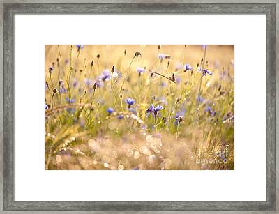 Cornflowers Gleam In Sunset Light Framed Print by Arletta Cwalina