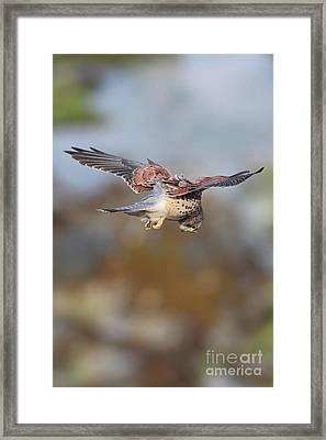 Framed Print featuring the photograph Cornish Kestrel Hunting 2 by Nicholas Burningham