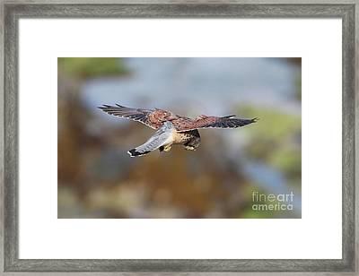 Framed Print featuring the photograph Cornish Kestrel Hunting by Nicholas Burningham