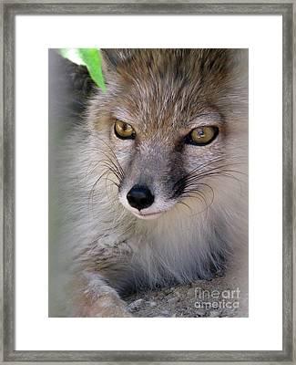 Framed Print featuring the photograph Corsac Fox- Vulpes Corsac 03 by Ausra Huntington nee Paulauskaite