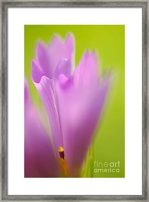 Cosmea Framed Print by Silke Magino