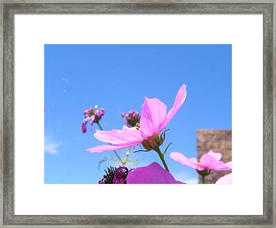 Cosmos Framed Print by Adrienne Petterson