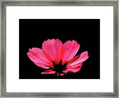 Cosmos Bloom Framed Print