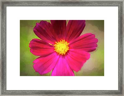 Cosmos Flowers Coreopsideae Framed Print