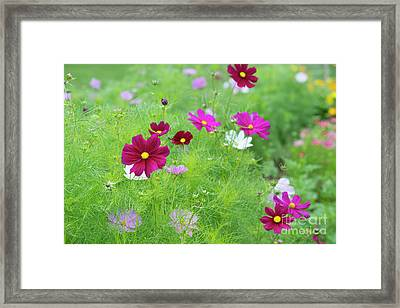 Cosmos Gazebo Flowers Framed Print by Tim Gainey