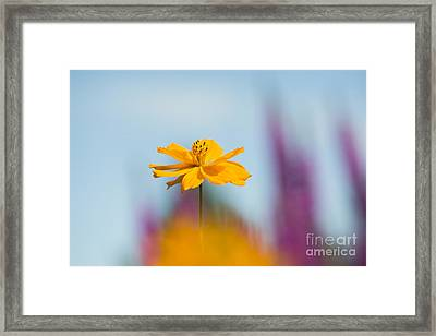 Cosmos Polidor  Framed Print by Tim Gainey