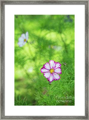 Cosmos Razzmatazz Framed Print by Tim Gainey