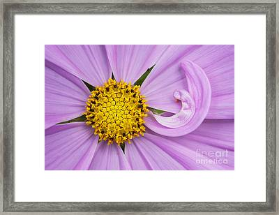 Cosmos Sonata Pink  Framed Print by Tim Gainey