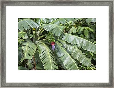 Costa Rica Banana Tree Framed Print
