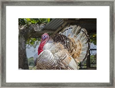 Costa Rica Gobbler  Framed Print by Betsy Knapp