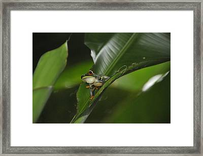 Costa Rica Red Eye Frog I Framed Print