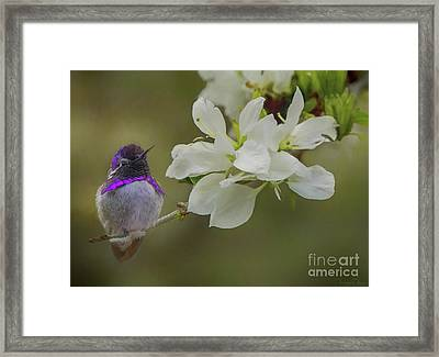 Costas Hummingbird On An Anacacho Orchid Branch Framed Print