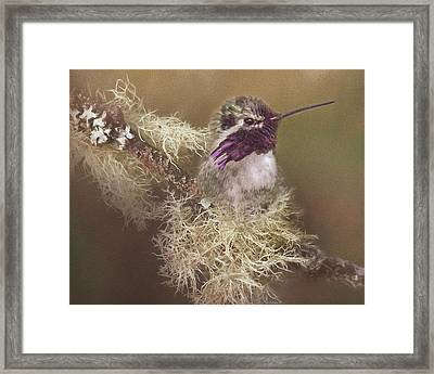 Costas Hummingbird Painted Framed Print