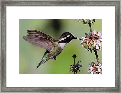 Costa's Hummingbird Framed Print
