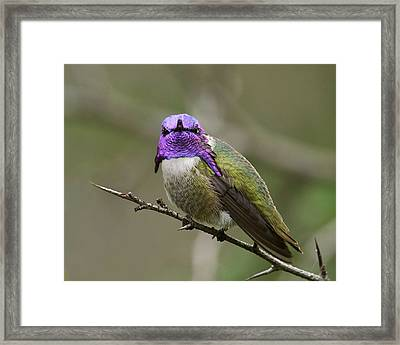 Costa's Hummingbird, Solano County California Framed Print by Doug Herr