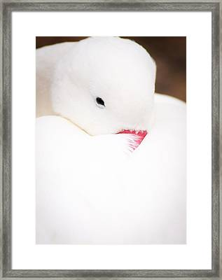 Cosy Duck Framed Print by Andy Smy