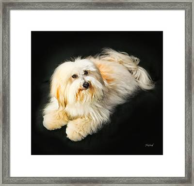 Coton De Tulear - Button Framed Print by Fred J Lord