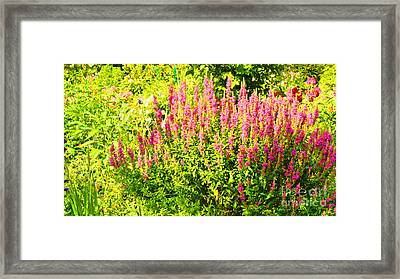 Cottage Garden Of Lupines Framed Print by MaryJane Armstrong