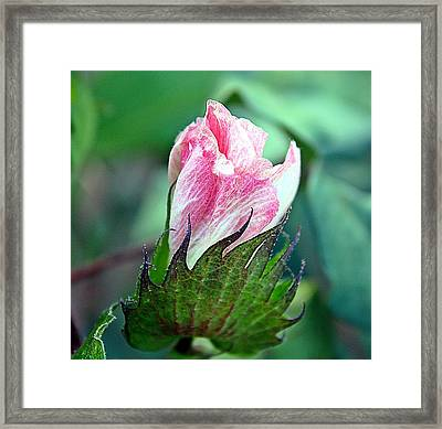 Cotton Bloom Framed Print