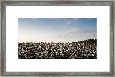 Cotton Field 2 Framed Print