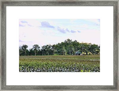 Framed Print featuring the photograph Cotton Field In Georgia by Jan Amiss Photography