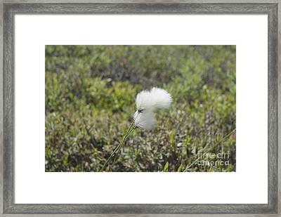 Cotton Grass -eriophorum Virginicum- Framed Print by Erin Paul Donovan
